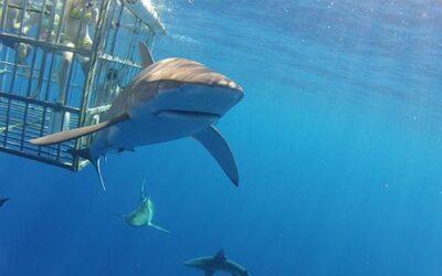 Shark Dive – Haleiwa, Oahu